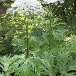 La berce du caucase oui il y en a dans la r gion de saint for 860 plante st hyacinthe